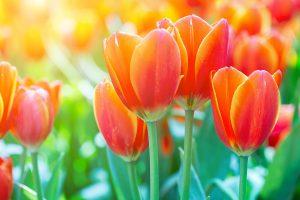 Spring Flowers Tulips in Bloom